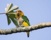 Napuszona papuga Zdjęcie Stock