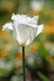 Napuszony frilled papuzi tulipanowy biel w wiośnie g fotografia stock