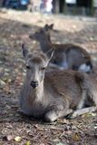 Portrait of a Dear. Nara dear park in Japan royalty free stock image