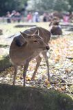 Portrait of a Dear. Nara dear park in Japan stock photos