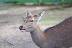 Portrait of a Dear. Nara dear park in Japan stock photography
