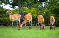 Nara Deer Royaltyfria Bilder