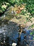 Nara Deer stock foto