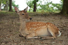 Nara Deer Royalty Free Stock Photo