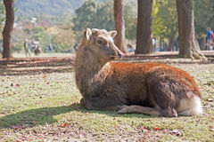 Nara deer Stock Photos