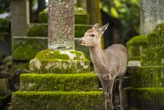 Nara Deer Lizenzfreie Stockfotografie