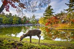 Nara Deer Lizenzfreies Stockbild