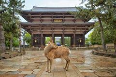 Nara Deer royaltyfri fotografi