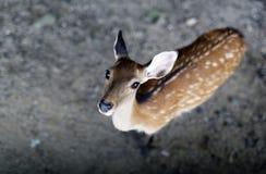 Nara Deer Arkivbild