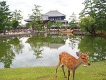Nara Deer Arkivfoton