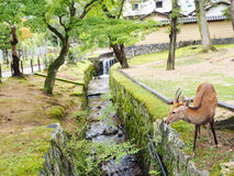 Nara Deer Immagine Stock