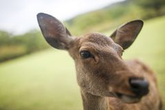 Nara deer 3 Royalty Free Stock Image