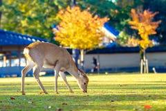 Nara deer at fall, Japan Royalty Free Stock Photos