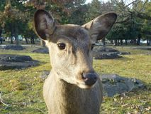 Nara Deer Fawn Face Close su, Nara Sika Koen, Giappone immagine stock libera da diritti