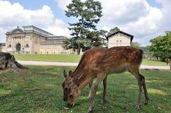 Nara Deer. Japan Osaka Nara National Museum w/Deer Royalty Free Stock Photos