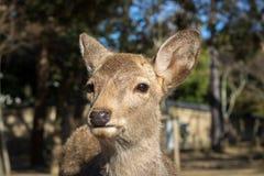 Nara Deer Park, cervo de Sika Fotografia de Stock