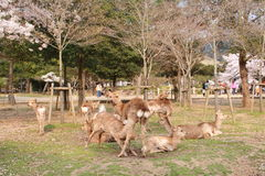 Nara Deer. Nara Park is a public park located in the city of Nara, Japan, at the foot of Mount Wakakusa, established in 1880. Administratively, the park is under Royalty Free Stock Photography
