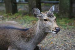 Nara deer roam free in Nara Park.  Stock Images