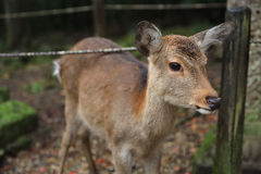Nara deer roam free in Nara Park. Japan Royalty Free Stock Images