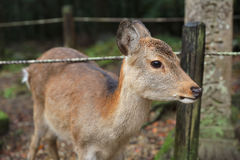 Nara deer roam free in Nara Park. Japan Royalty Free Stock Photos