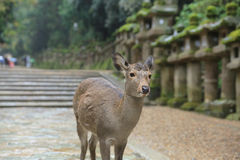 Nara deer roam free in Nara Park, Japan. A Nara deer roam free in Nara Park, Japan Stock Image