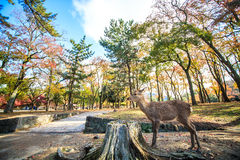 Nara deer roam free in Nara Park, Japan Stock Images