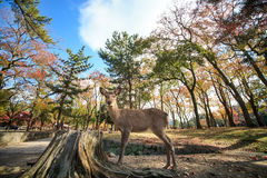 Nara deer roam free in Nara Park, Japan. For adv or others purpose use Stock Image
