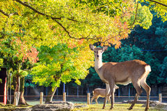 Nara deer roam free in Nara Park, Japan Royalty Free Stock Image