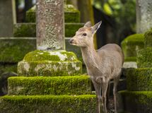 Nara Deer Stock Photo