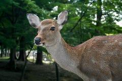 Nara Deer. Tame deer roam the streets in Nara, Japan Stock Images