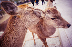 Nara Deers. Deers encountered at Nara Park, Japan Royalty Free Stock Photo