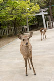 Nara deers Royalty Free Stock Image