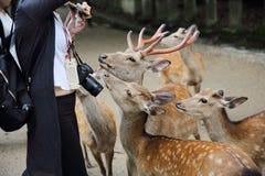 NARA, GIAPPONE - 5 giugno 2016: Cervi selvaggi con la gente nella città di Nara, J Fotografia Stock