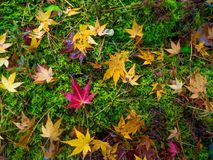 Nara, Japón - 26 de julio de 2017: Ciérrese para arriba de las hojas hermosas del otoño en la tierra en el parque del otoño en Ky Foto de archivo