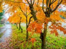 Nara, Japón - 26 de julio de 2017: Paisaje hermoso del otoño, árboles amarillos y hojas, follaje colorido del otoño en el otoño Imagen de archivo libre de regalías