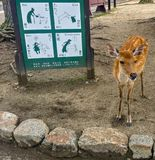 Beautiful and cute young deer in Nara Park. Nara, JAPAN - Aug. 08 2017: A cute young deer in Nara Park, the symbol of the city of Nara Royalty Free Stock Image