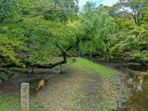 Nara deer roam free in Nara Park. Nara, JAPAN - Aug. 08 2017: Nara deer roam free and eating in Nara Park during a beautiful day in summer season Stock Photos