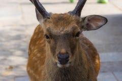 NARA JAPAN, AUGUSTI 14th 2015 Redaktörs- foto av en hjort i Nara Park, Japan Arkivbild