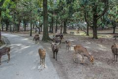 Cute young deers walking in the park. Sacred animals of the world. 2013.01.05, Nara, Japan. Cute young deers walking in the park. Sacred animals of the world royalty free stock photography