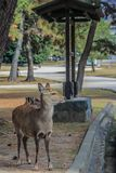 Cute young deers walking in the park. Sacred animals of the world. 2013.01.05, Nara, Japan. Cute young deers walking in the park. Sacred animals of the world royalty free stock images