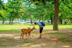 Nara Japan - Juli 26, 2017: Besökare matar lösa hjortar i Nara, Japan Nara är en viktig turismdestination i Japan - Arkivbilder