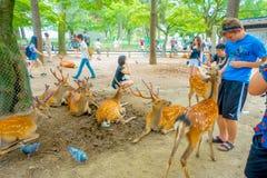 Nara Japan - Juli 26, 2017: Besökare matar lösa hjortar i Nara, Japan Nara är en viktig turismdestination i Japan - Arkivfoton