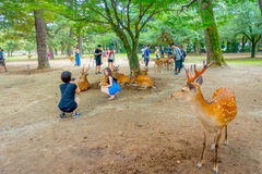 Nara Japan - Juli 26, 2017: Besökare som tar picturtes med lösa hjortar i Nara, Japan Nara är en viktig turism Fotografering för Bildbyråer