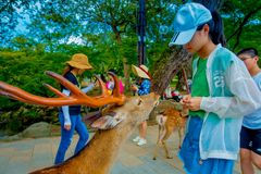 Nara Japan - Juli 26, 2017: Den oidentifierade kvinnan som bär en hatt, matar en lös hjort i Nara, Japan Nara är ett viktigt Arkivbild
