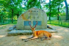 Nara Japan - Juli 26, 2017: Härliga lösa hjortar som vilar i Nara Park framme av ett informativt, undertecknar in stenen, i Nara Royaltyfri Bild