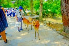 Nara Japan - Juli 26, 2017: Oidentifierad gamal man som trycker på en lös hjort i Nara Park, Japan Nara är en viktig turism Royaltyfri Bild