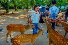 Nara Japan - Juli 26, 2017: Oidentifierad kvinna som bär en vit t-skjorta som matar en lös hjort i Nara, Japan Nara är a Arkivbilder