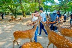 Nara Japan - Juli 26, 2017: Oidentifierad kvinna som bär en vit t-skjorta som matar en lös hjort i Nara, Japan Nara är a Arkivfoton