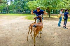 Nara Japan - Juli 26, 2017: Oidentifierad man in från av två lösa deers i Nara, Japan Nara är en viktig turism Royaltyfri Fotografi