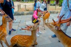 Nara Japan - Juli 26, 2017: Oidentifierat barn som matar en lös hjort i Nara, Japan Nara är en viktig turismdestination Arkivbilder
